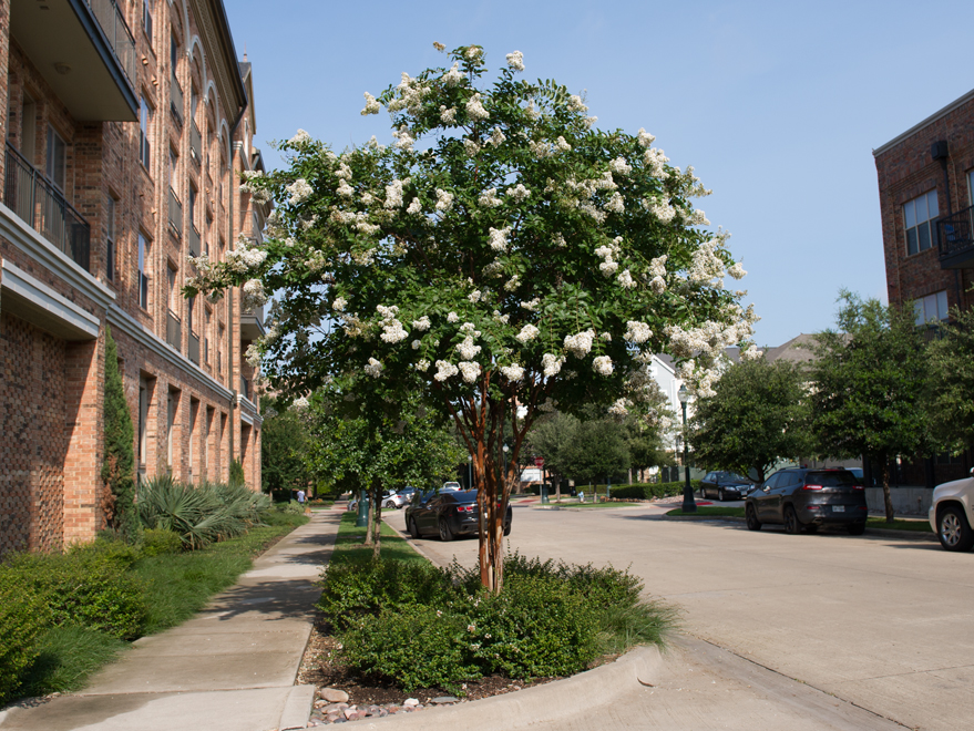 Maturing Natchez Crape Myrtle photographed in Plano, Texas by Treeland Nursery. White Flowering Trees for Dallas, Texas landscaping.