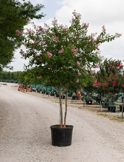Muskogee Crape Myrtle in a container. Photography by Treeland Nursery. Tree farm north of Dallas and Frisco, Texas.
