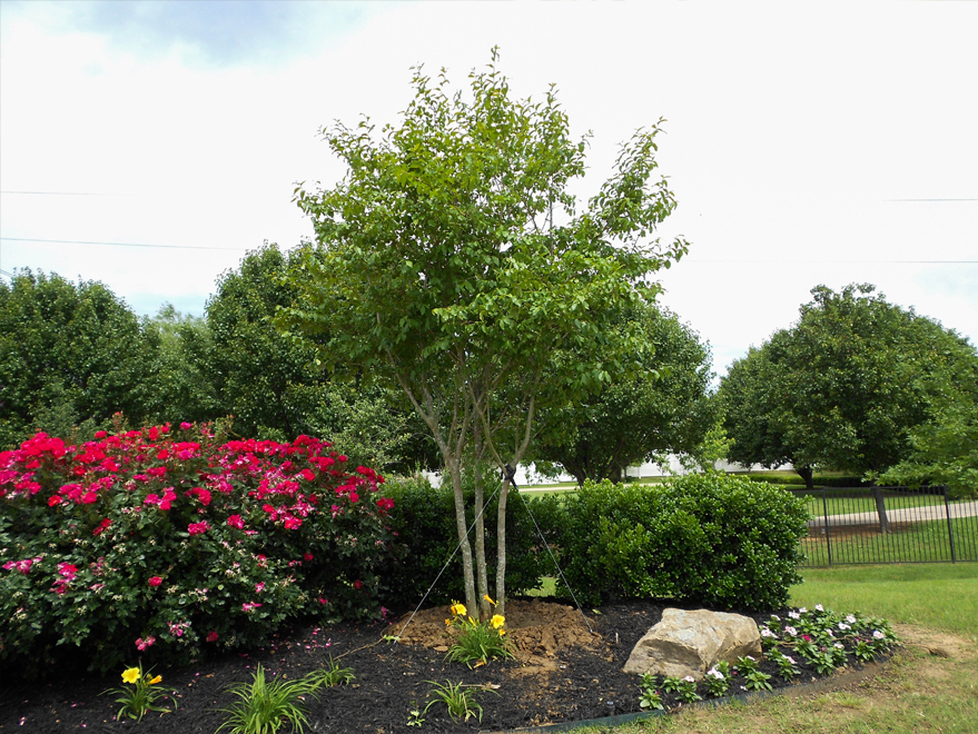 Muskogee Crape Myrtle planted and installed in Mckinney, Texas by Treeland Nursery. Flowering crape myrtles for sale north of Frisco, Texas.