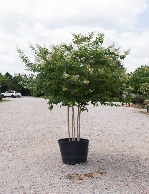 Natchez Crape Myrtle in a container. Photography by Treeland Nursery. White flowering trees in Dallas, Texas.