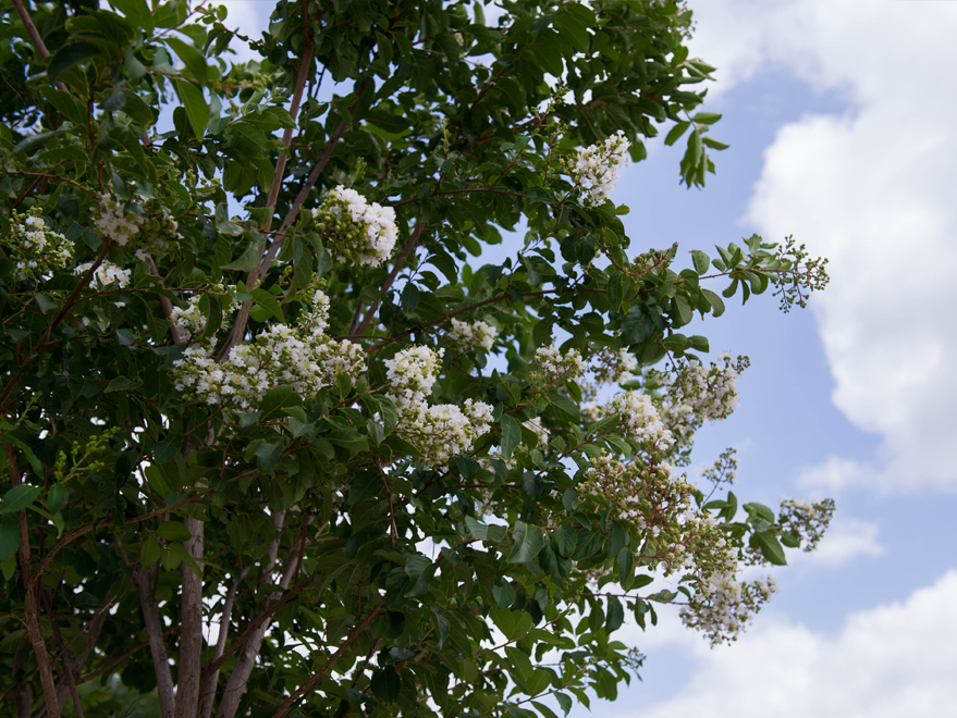 Natchez Crape Myrtle tree flowers photographed at Treeland Nursery. White flowering trees used in North Dallas landscapes.