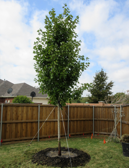 October Glory Maple Tree Planted In Mckinney, Texas By Treeland Nursery.