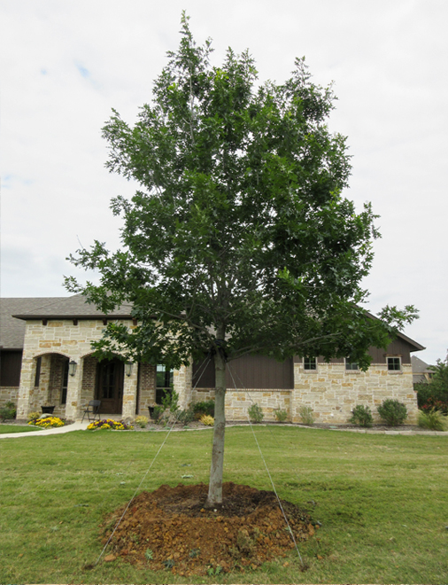 Beautiful Red Oak tree with dark green leaves planted in a frontyard by Treeland Nursery.