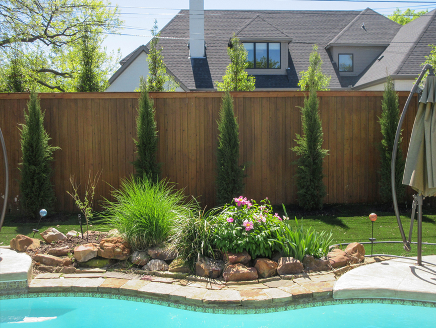 Grouping of Eastern Red Cedar 'Taylor'  Trees aka Taylor Junipers, planted between a fence and pool by Treeland Nursery.
