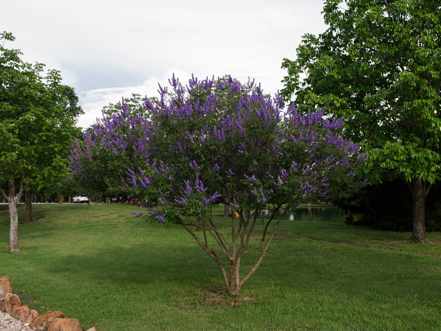 Maturing Vitex 'Shoal Creek' blooming in the Summer at Treeland Nursery.