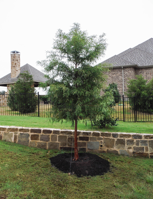 Bald Cypress tree planted near a retaining wall by Treeland Nursery.