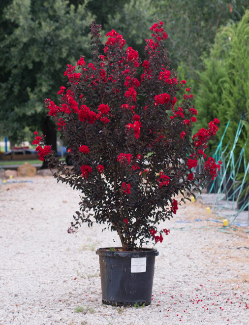 Beautiful Black Diamond Crape Myrtle with deep red flowers. Picture taken at our tree farm at Treeland Nursery.