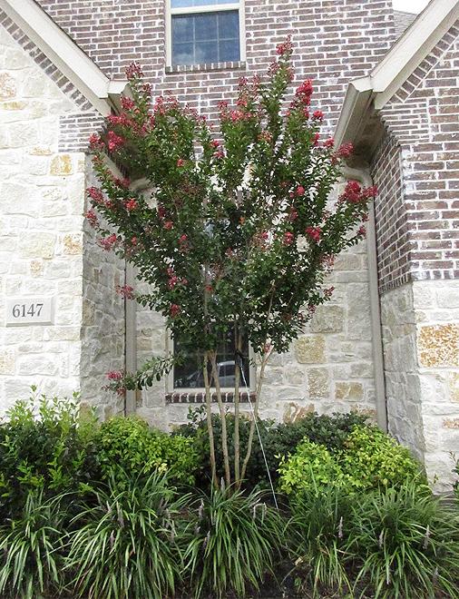 Centennial Crape Myrtle planted in a flowerbed niche by Treeland Nursery.