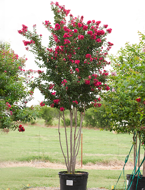 Centennial Spirit Crape Myrtle with beautiful red flowers. Picture was taken at our tree farm north of Dallas, Texas by Treeland Nursery.