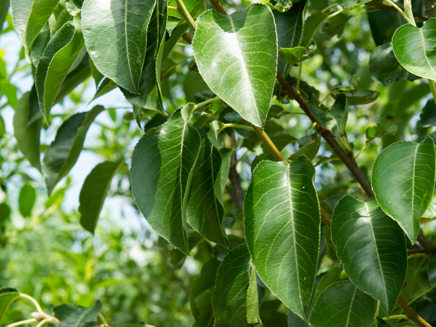Dark green glossy leaves on a Cleveland Select Pear tree. Photographed by Treeland Nursery north of Dallas, Texas.