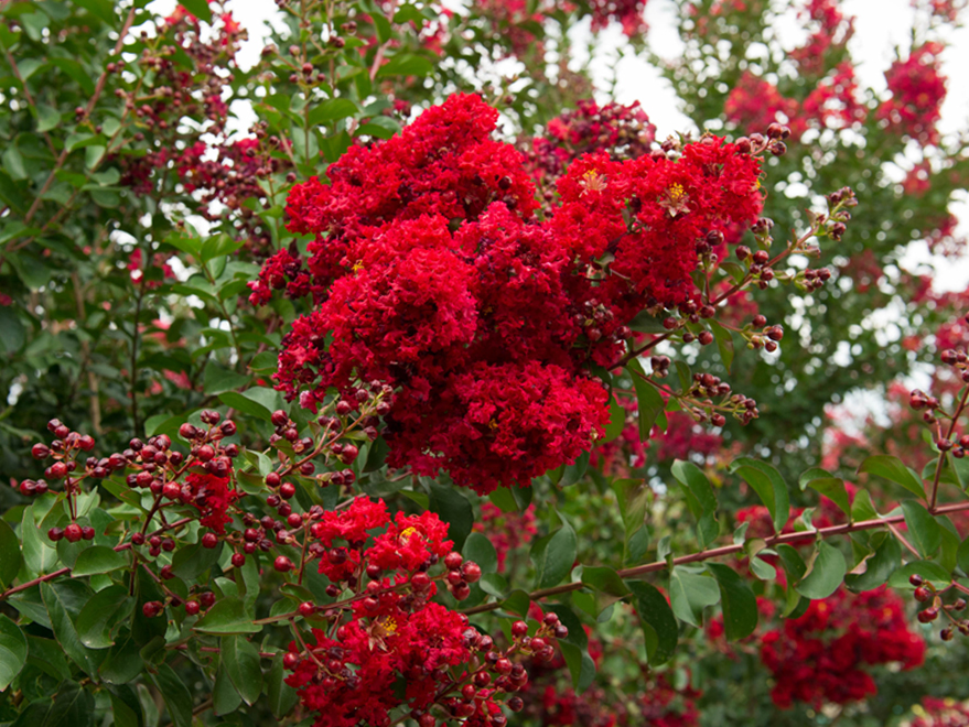 Close up image a a cluster of flowers from a Dynamite Crape Myrtle. Photographed by Treeland Nursery at our tree farm north of Dallas, Texas.