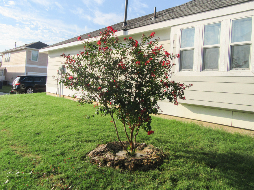 Dynamite Crape Myrtle installed in a sideyard by Treeland Nursery.