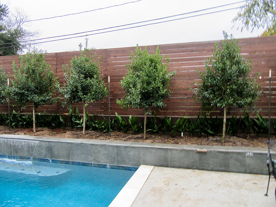Tree Form Eagleston Hollies planted in a raised bed between a pool and fence by Treeland Nursery.