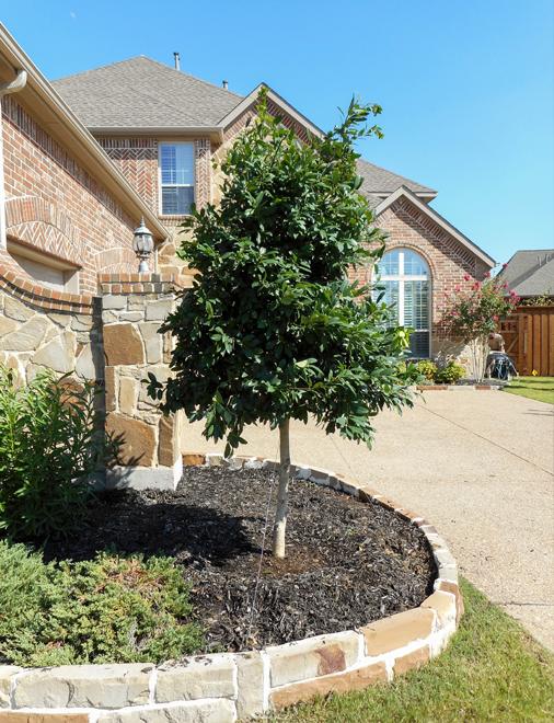 Tree form Eagleston Holly tree planted in a frontyard flowerbed by Treeland Nursery.