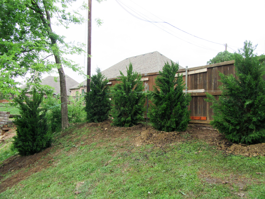 Eastern Red Cedars planted along a sloped backyard by Treeland Nuresry.