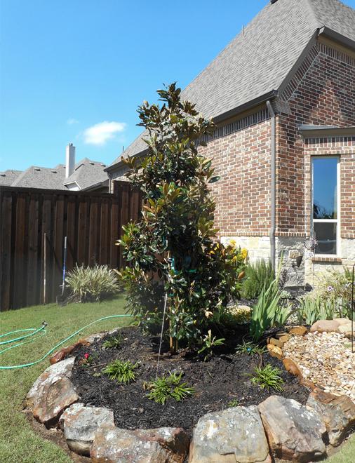 Little Gem Magnolia planted in a flowerbed by Treeland Nursery.