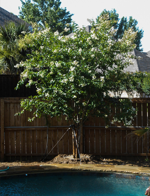 Natchez crape myrtle with beautiful white blooms in the backyard. Planted by Treeland Nursery.