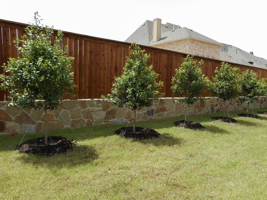 Tree form Eagleston Hollies planted along a fence for future privacy screening once matured. Installed by Treeland Nursery.