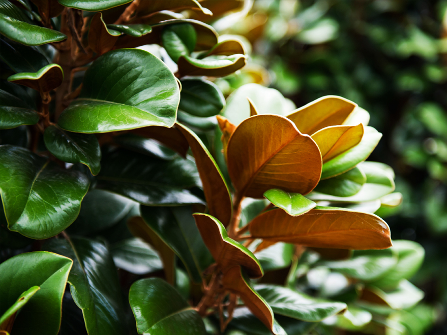 Evergreen Teddy Bear Magnolia leaves. Photographed by Treeland Nursery. Evergreen flowering trees planted in Frisco, Texas landscapes.