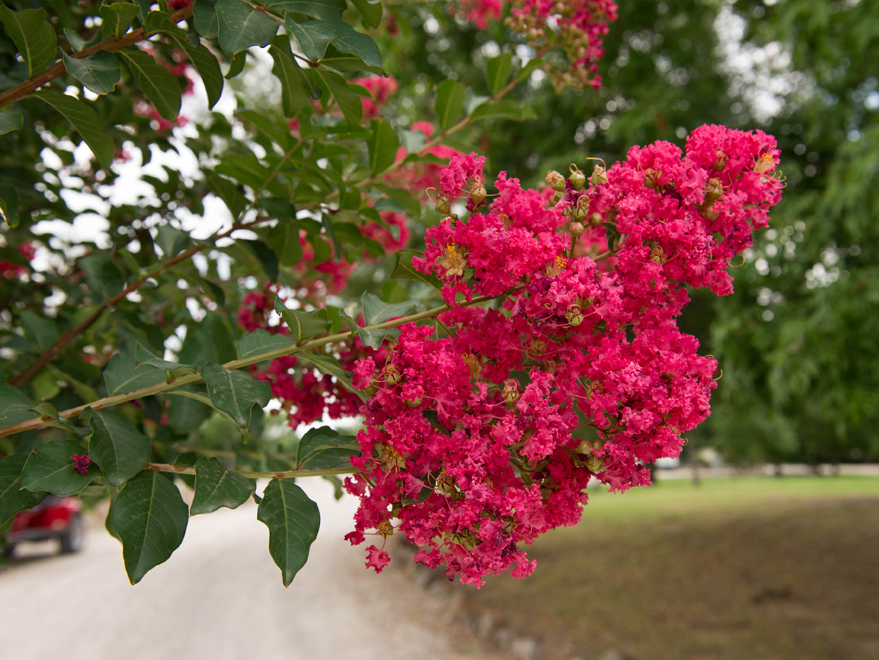 Tuscarora Crape Myrtle flower detail. Photographed by Treeland Nursery. Crape Myrtles with pink flowers in Dallas, Texas.