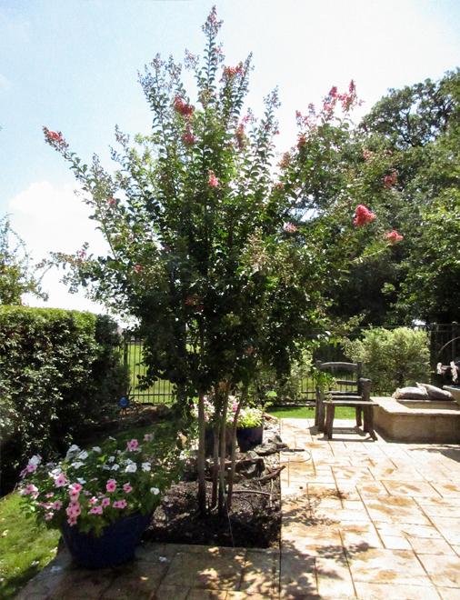 Tuscarora Crape Myrtle planted by a backyard patio by Treeland Nursery.