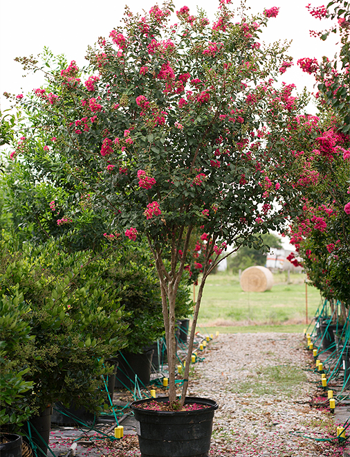 Tuscarora Crape Myrtle in a container photography by Treeland Nursery. Pink flowering trees in Dallas, Texas landscapes.