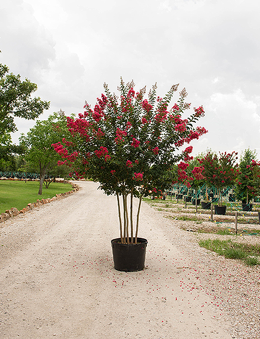 Tuscarora Crape Myrtle in a container photography by Treeland Nursery. Top Crape Myrltes for North Texas.
