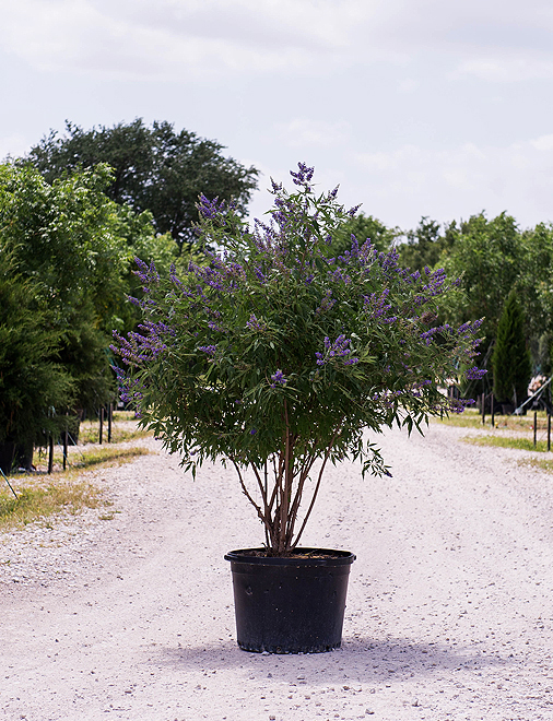 Vitex 'Delta Blues' Image