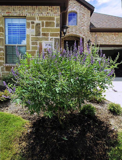 Vitex Shoal Creek planted in a frontyard in Frisco, Texas by Treeland Nursery.
