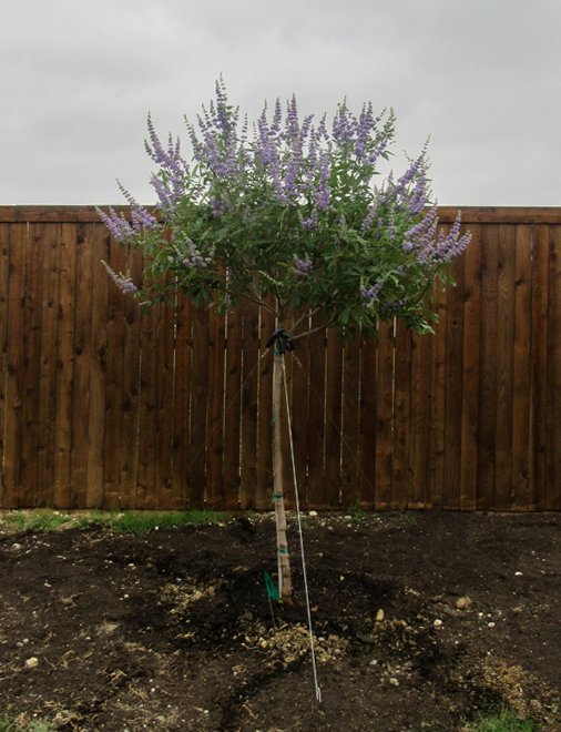 Vitex 'Shoal Creek' with a single trunk installed in a backyard by Treeland Nursery.