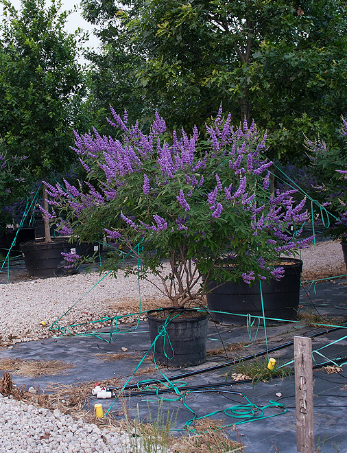 Vitex Shoal Creek Dallas Texas Treeland Nursery