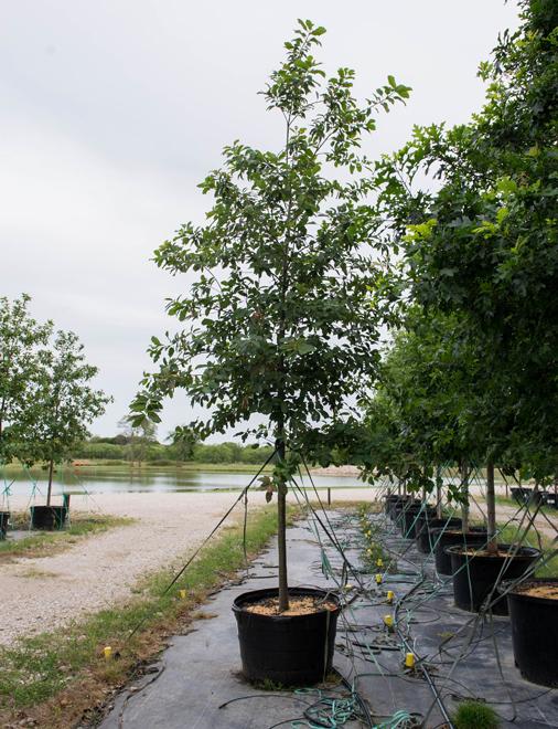 Monterrey Oak Image