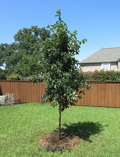 Monterrey Oak Tree planted in a backyard by Treeland Nursery.