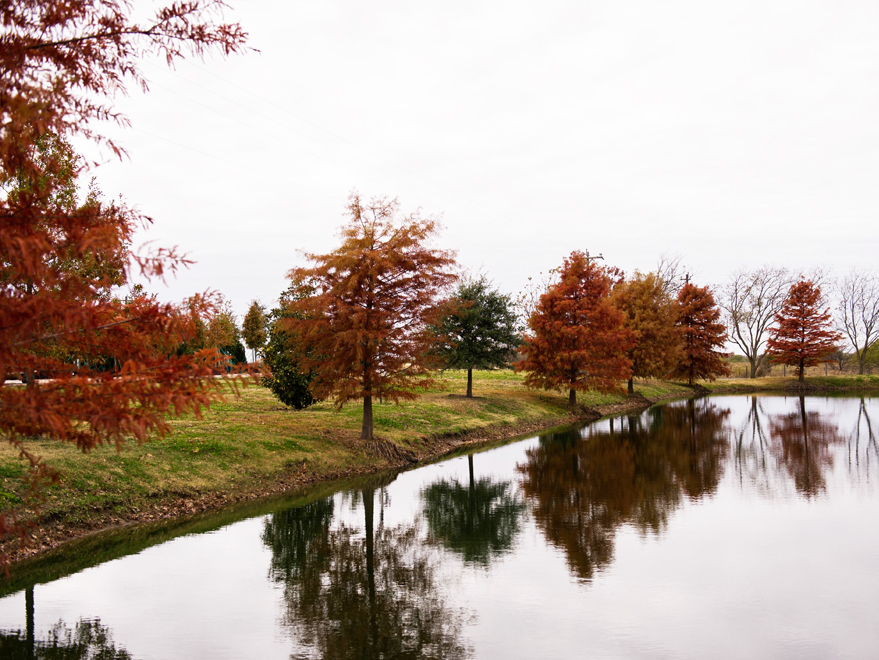 Maturing Bald Cypress trees planted along a pond for  fall color at Treeland Nursery.