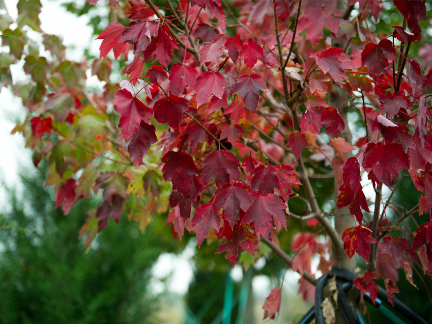 Brandywine Maple leaves that have finished turning to their rich red Fall color. Photographed at Treeland Nursery.