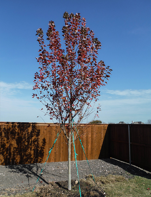 Brandywine Maple tree that was planted at the end of the Fall season. Installed by Treeland Nursery.