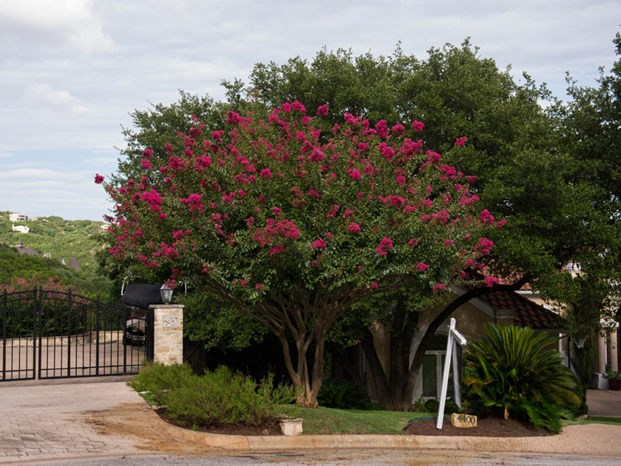 Mature Centennial Crape Myrtle with flowers.