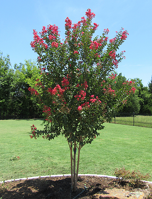 Centennial Crape Myrtles planted in a backyard flowerbed by Treeland Nursery.