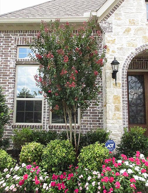 Centennial Crape Myrtle planted in a frontyard flowerbed by Treeland Nursery.