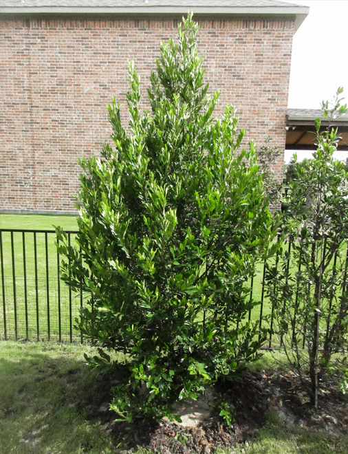 Cherry Laurel planted by Treeland Nursery.