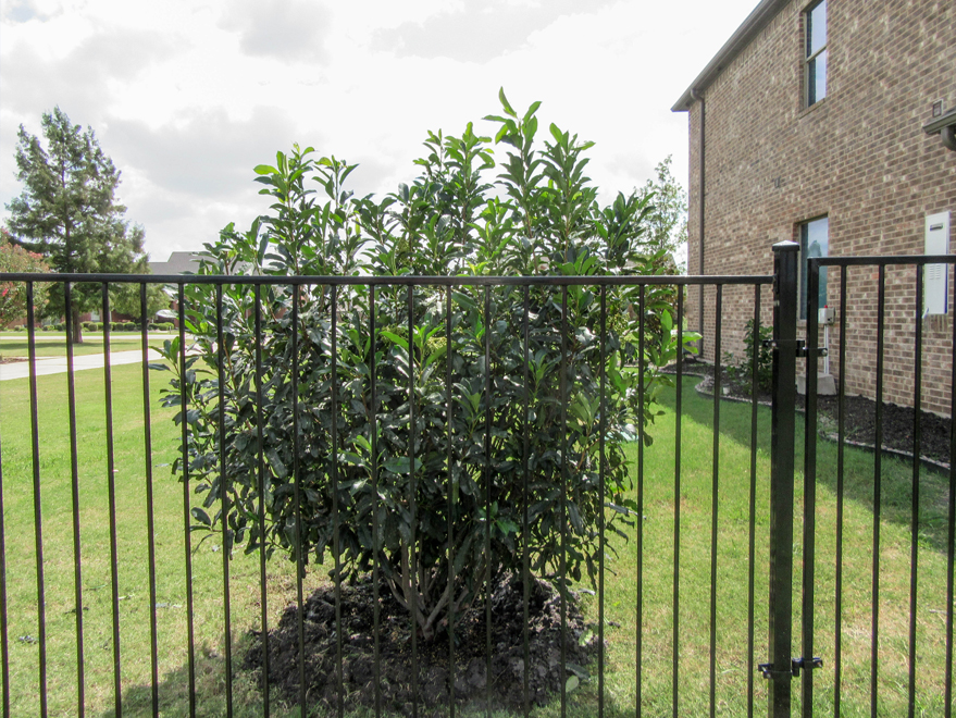 Chinese Photenia installed along a wrought iron fence for privacy screening by Treeland Nursery.