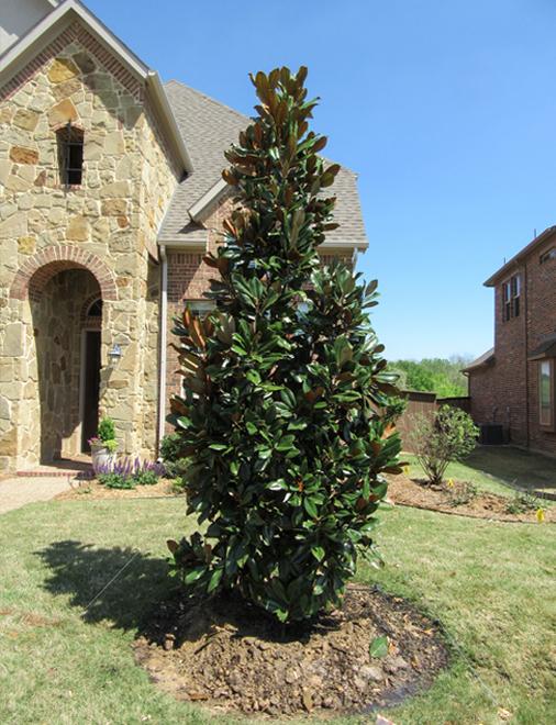 DD Blanchard Magnolia planted in a frontyard.