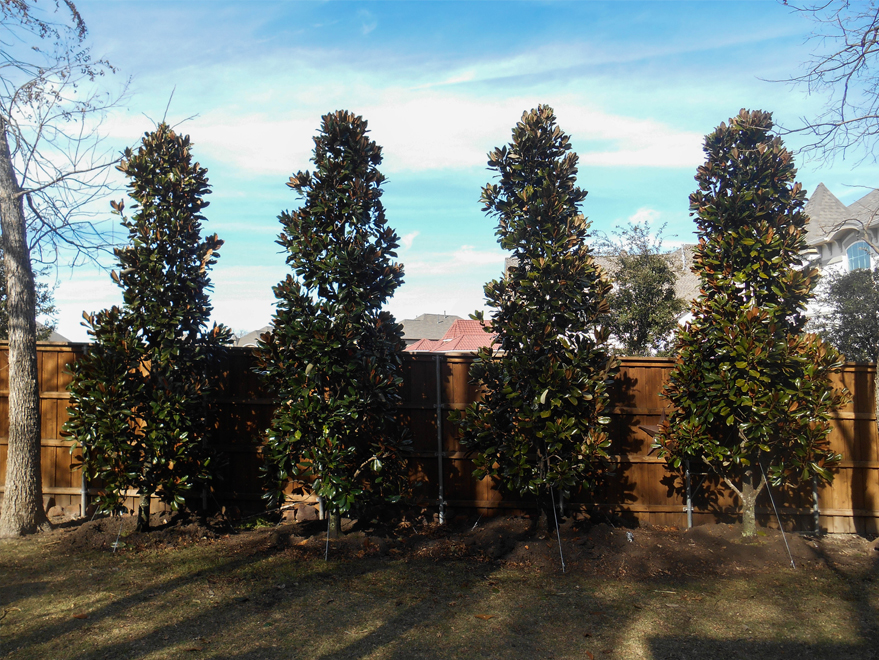 DD Blanchard Magnolia planted in a backyard for privacy screening by Treeland Nursery.