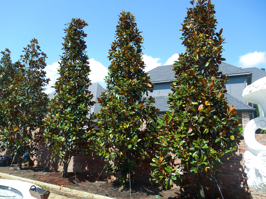 DD Blanchard Magnolia planted in a backyard for privacy screening installed by Treeland Nursery.