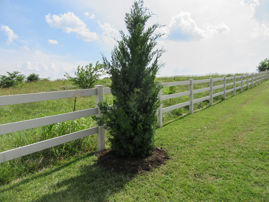 Brodie Eastern Red Cedar planted along a fence by Treeland Nursery.
