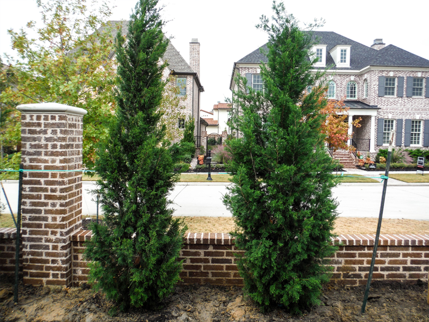 Brodie Eastern Red Cedars planted in a sideyard for privacy screening alongside a brick wall by Treeland Nursery.