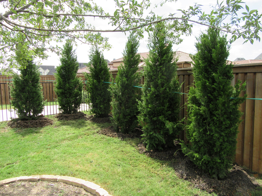 Brodie Eastern Red Cedars planted in a backyard for privacy screening by Treeland Nursery.