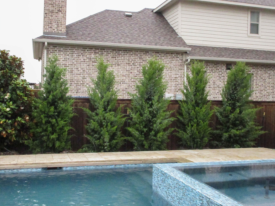 Row of Brodie Eastern Red Cedars planted between a fence and pool in a backyard by Treeland Nursery.