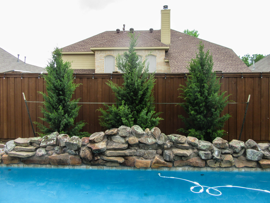Brodie Eastern Red Cedars planted between a fence and pool in a backyard by Treeland Nursery.