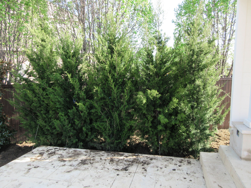 Brodie Eastern Red Cedars planted in a backyard for privacy by Treeland Nursery.